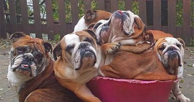 Bucket of Bulldogs