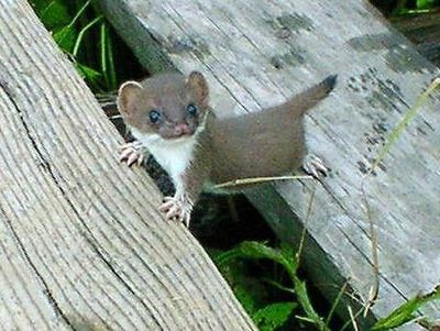 Baby Stoat (also known as Ermine or Short Tailed Weasel)