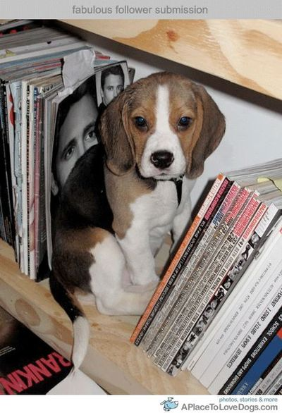 beagle on a bookshelf!