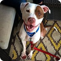 Nena a American Pit Bull Terrier Mix for adoption in Morristown, NJ who needs a loving home. #adoptme #pitbull #dog #hound #adoptabledog #cute