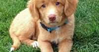Maple the Nova Scotia Duck Tolling Retriever Puppy - so sweet and pretty!