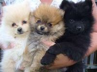 Image Search Results for pomeranian
