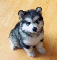 a husky that stays small forever: a pomsky I want one !!:)