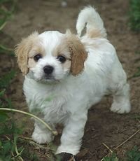 "I'm not into ""designer"" dogs, but this Cavalier/Bichon mix is all kinds of adorable."