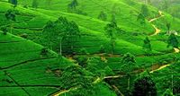 Kangra Tea Garden Is The Best Place To Visit From Hotels In Dharamsala  These Tea gardens are very beautiful & unspoiled attraction so ideal for walking deep into the tea gardens. While visiting these gardens you find some locals sits outside the ga...