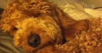 SleepingTed Lee F1b red goldendoodle.sized .jpg (478�—640)