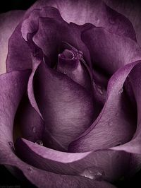 """""""Purple Rose"""" by Photo-Witch ... gorgeous shade of purple <3"""