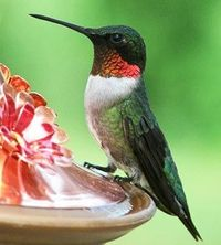Although there are 300 kinds of hummingbirds, the ruby-throated is the only one common throughout the Midwest.