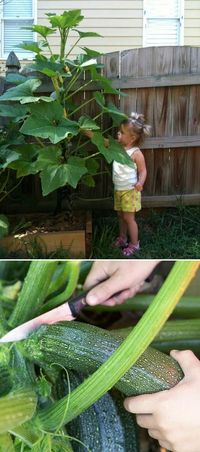 If you're short on garden space, growing zucchini vertically is a smart alternative. With a reputation for being a sprawling plant, zucchini grows quickly and t