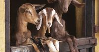 #goatvet likes this photo called - So Much To See