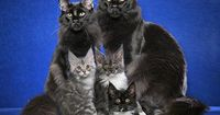 Maine Coon Cats Family