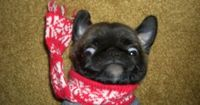 Baby pug says: Scarf. Too. TIGHT!