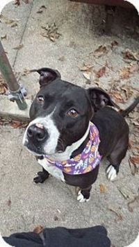 Meet Stamos, a dog for adoption. Morristown, NJ - American Pit Bull Terrier/American Staffordshire Terrier Mix. #pitbull #apbt #terrier #adoptme #handsome #cute #adoptabledog #dogrescue