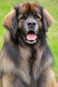 LEONBERGER Someday... I want a horse/dog/lion.