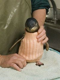 Oiled penguin in jumper. Asking for donations from all knitters to knit and contribute to save sick birds. Pattern included.