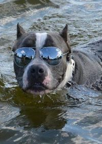 tugg loves to wear sunglasses too! :)