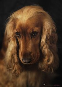 Another wrote:Irish Setter or Cocker Spaniel to love and care for until death do us part �œ��Š��•�