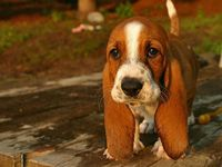 So, reminds me of our old family dog, Magoo! Aren't bassetts the cutest! Just want to cuddle with him!