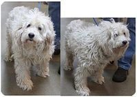 Hamilton, NJ - Cockapoo/Poodle (Standard) Mix. Meet Molly, a dog for adoption. http://www.adoptapet.com/pet/12219466-new-jersey-new-jersey-cockapoo-mix