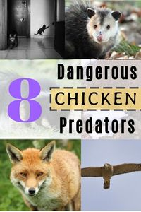 Keeping chicken is a very good thing to do, as a hobby or as a profession, but chickens are in comparison with other more dangerous animals they are small and vulnerable.