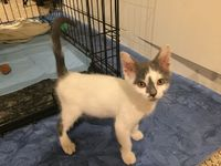 Suzie is an adoptable domestic short hair searching for a forever family near Fort Worth, TX. Use Petfinder to find adoptable pets in your area.