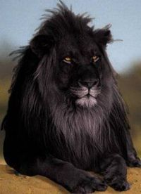 rare black lion. nature takes beauty & creates new beauty!!! rare black lion ~ black is indeed beautiful!!!