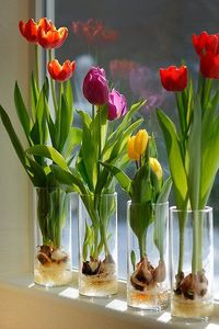 Indoor Tulips . . . Step 1 - Fill a glass container about 1/3 of the way with glass marbles or decorative rocks. Clear glass will enable you to watch the roots develop . . . Step 2 - Set the tulip bulb on top of the marbles or stones; pointed end UP. Add ...