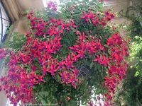 I grew up with fuchsias in hanging baskets.
