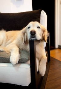Goldens will sleep anywhere and anyhow