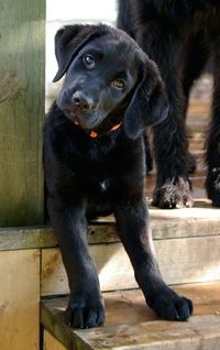 Labs are the best. This makes me think of my little man!