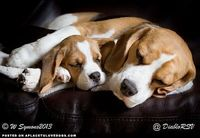 Beagle Puppy Snuggle - A Place to Love Dogs