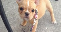"""""""I put the Wag in Swag"""", a very sassy French Bulldog Puppy"""
