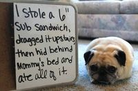 Funny Pictures - Pug shaming