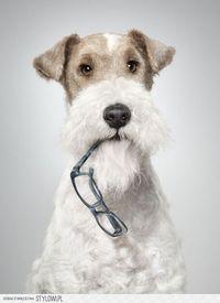 Pictures of Wire Hair Fox Terriers always make me miss my Reggie.
