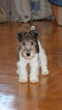 Oh be still my beating heart! Dear Father Christmas please can I have a Fox Terrier puppy. I'll be VERY good, I promise!