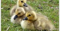 Adorable goslings! I'm thinking about getting a #tattoo of goslings chasing each other