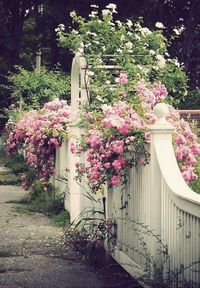Pretty pink climbing roses on white fence; this is another idea for the side yard in front. We know we want roses...climbing and others....Joe and i are looking for a variety of colors. We planned this last summer and now I have a picture. This is much wh...