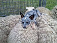Sheep dog - you're not doing it right.