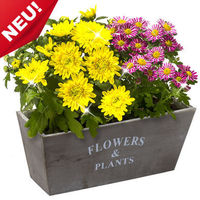 Now freshly arrived! Two beautiful chrysanthemums with gorgeous yellow and pink flowers in a decorative wooden pot. The size of the basket is approximately 35 cm
