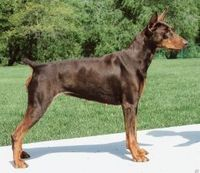 Chocolate Doberman... for home security
