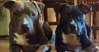 Odin and Rorschach are pit bull brothers who live in Arizona, where they like to do everything together: Play, hike in the desert, take adorable siestas ...