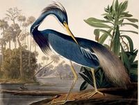 John James Audubon (1785-1851), Louisiana Heron, Havell edition