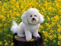 Free Desktop Wallpapers | ... of small white dog in flowers free wallpaper pet category wallpaper