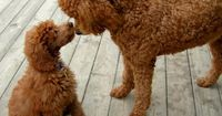 When you think of a poodle, what kind of dog do you think of? Many of us immediately imagine the Toy Poodle, one of the different types of Poodle. But as a bree