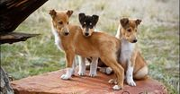 smooth collie puppies <3...i want one of these too!