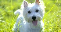 West Highland White Terrier Basics A robust and healthy terrier breed, the West Highland White Terrier is a favorite with dog lovers across the globe....