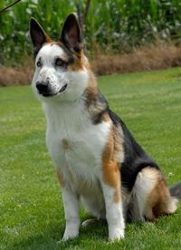 Panda German Shepherd - A genetic mutation in a pure bred led to this beautiful variation.