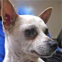 Zoe is an adoptable Chihuahua Dog in Oakland, CA. The perky ears show you that she doesn't miss much going on around her. Zoe is a white-shaded-to-tan Chihuahua mix who will be a good lapful for you--...
