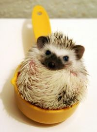 A hedgehog cuddled in a yellow measuring cup.