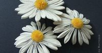 Quilled Daisies or Chamomiles
